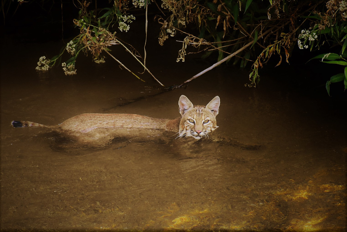 https://wrrc.arizona.edu/sites/wrrc.arizona.edu/files/images/photo-contest-2019/nature/webster-jerry-01-bobcat-in-santa-cruz-2019.jpg