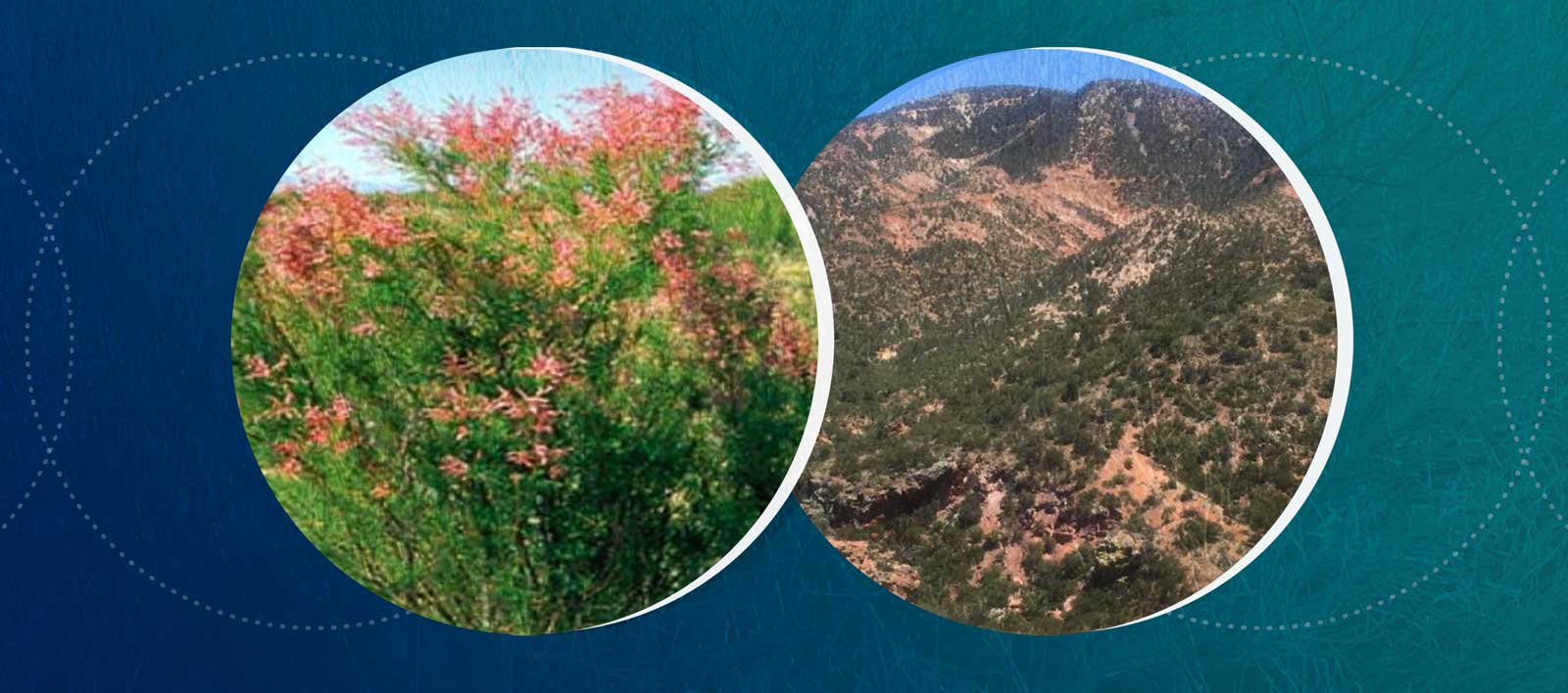 A graphic depicting the Patagonia Mountains and Tamarisk plant