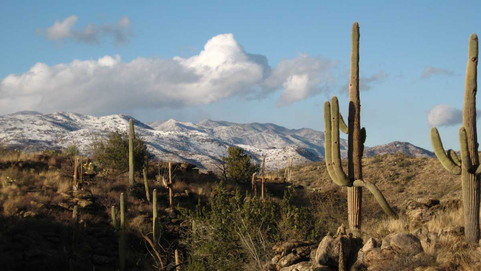 image of snow covered saguaro cactus