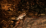 Brian Blais - Red Spotted Toad, Sabino Creek
