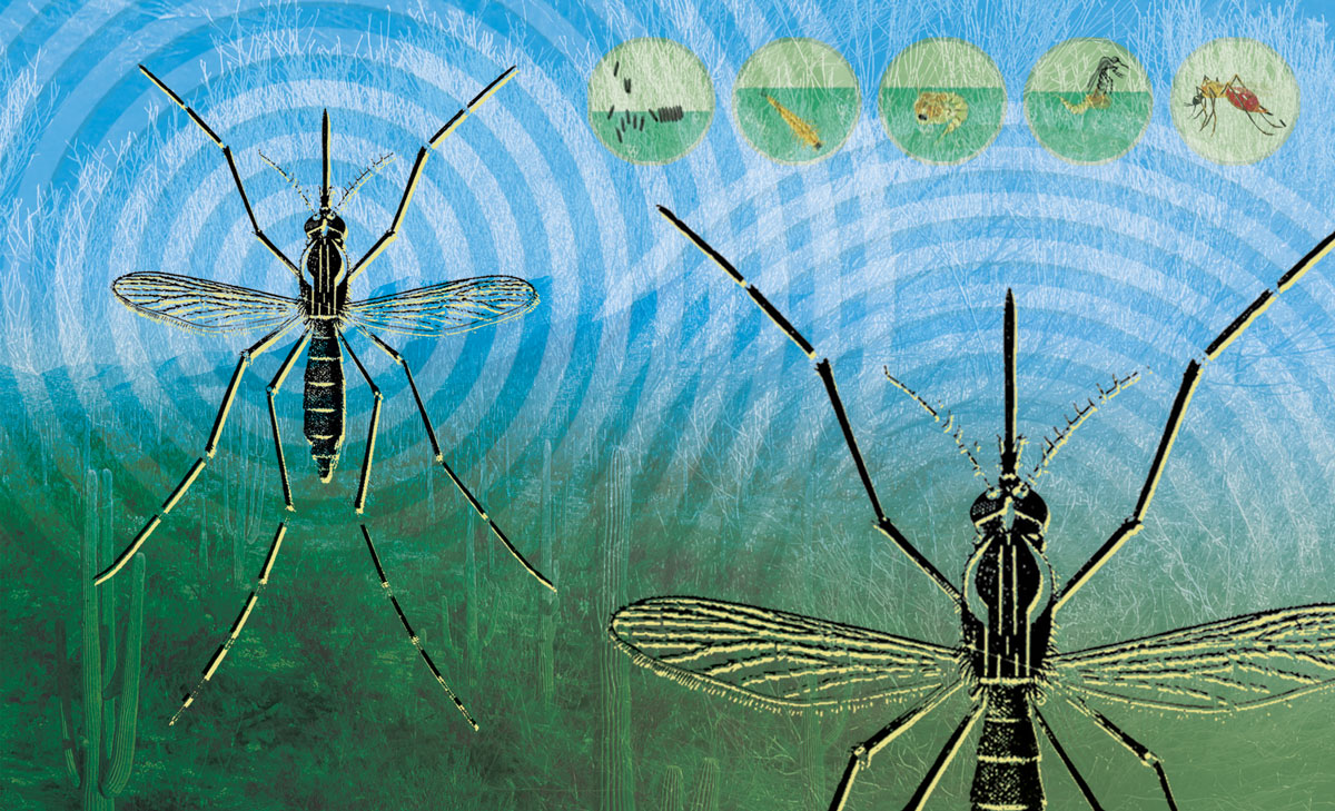 A graphic depicting two mosquitos